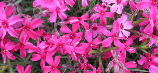 Флокс шиловидный: описание и фото цветов на клумбах в саду