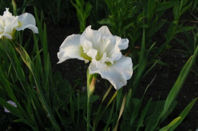 Сибирские ирисы: описание растений, время цветения, лучшие сорта