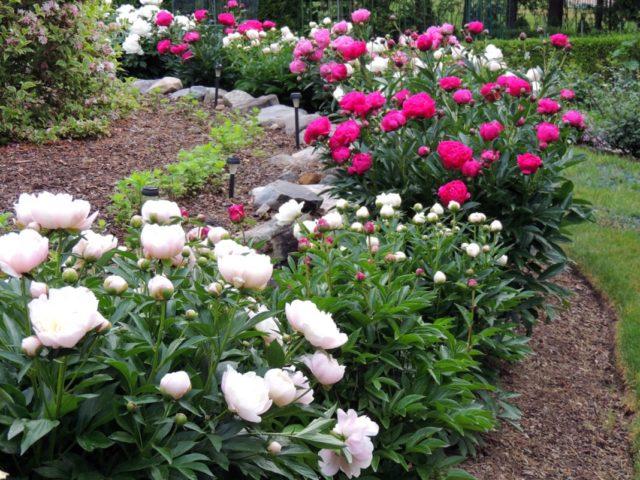 Молочноцветковый травянистый пион сорта Shirley Temple (Ширли Темпл)
