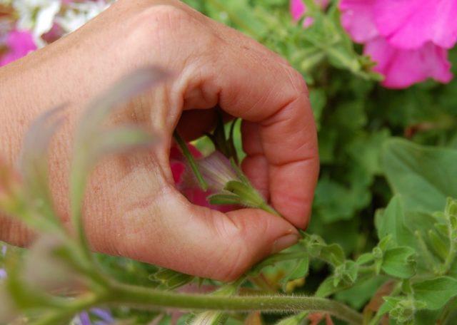 Как цветет и как заставить петунию цвести