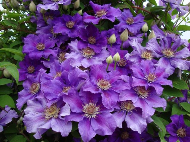 Гибридный крупноцветковый клематис Ashva (Ашва): посадка и уход