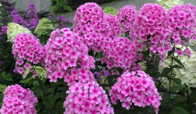 Чем подкормить флоксы весной, летом и осенью для пышного цветения