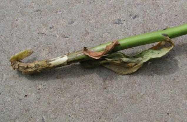 Почему и что делать, если желтеют и сохнут листья у флоксов
