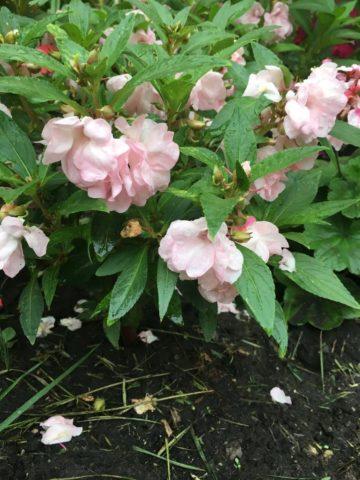 Бальзамин Том Самб (Тамб): выращивание из семян в домашних условиях, уход