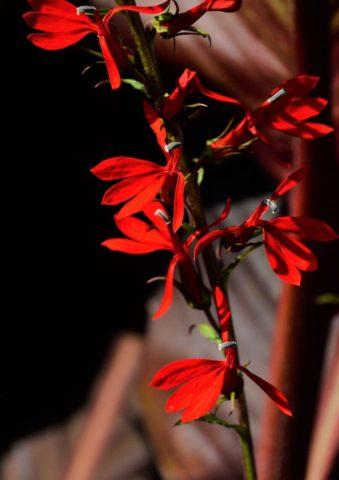 Лобелия кардинальская (пурпурная, Lobelia cardinalis): посадка и уход
