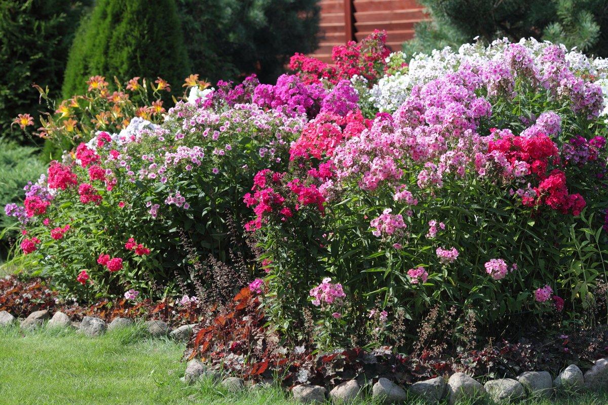 селекция флоксы на даче и в саду фото следующий