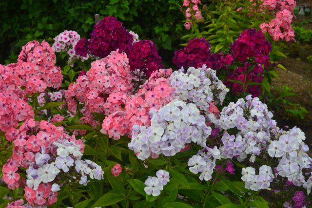 С какими цветами сочетаются флоксы и с чем можно сажать рядом
