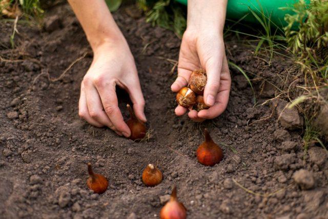Когда и как сажать тюльпаны осенью в Сибири