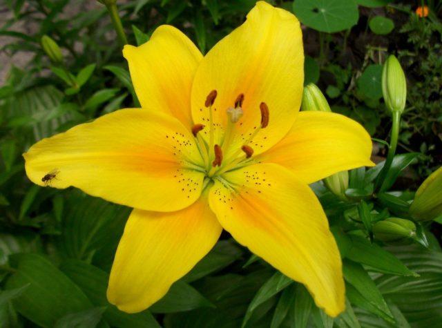 Сорта трубчатых лилий: описание, отзывы