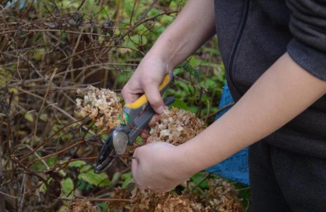 Как правильно обрезать древовидную гортензию осенью