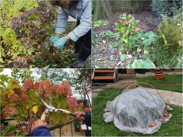 Подкормка гортензии удобрениями осенью
