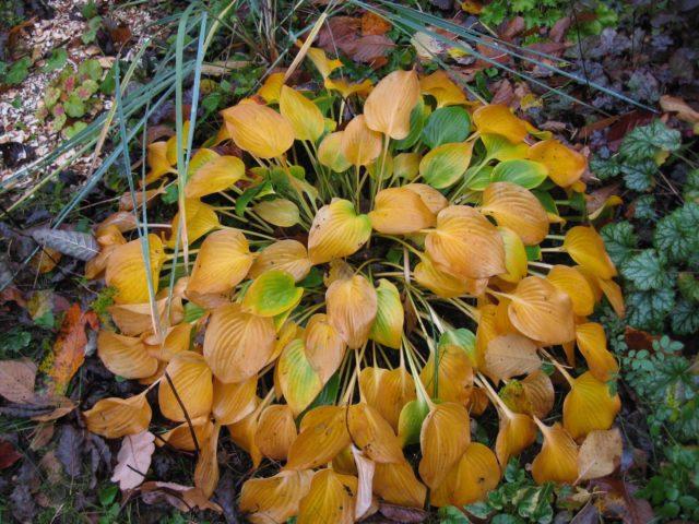 Уход и подготовка хосты осенью к зиме