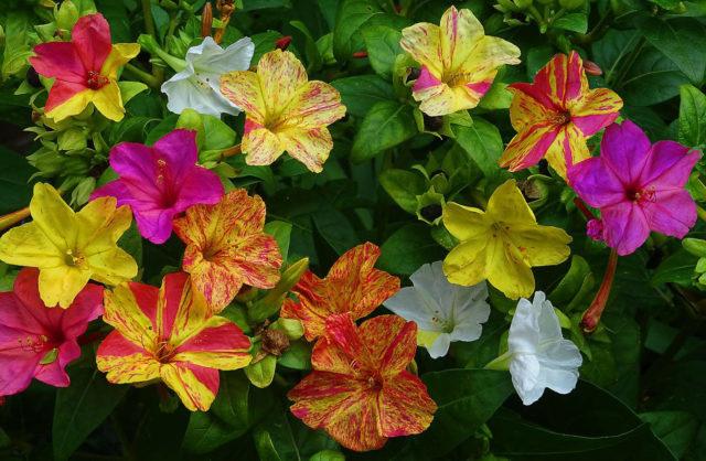 Какие цветы похожи на петунию: фото с названиями растений