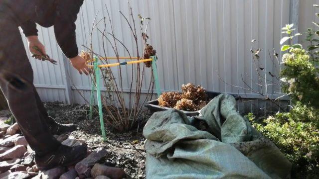 Как правильно ухаживать и подготовить гортензию осенью к зиме