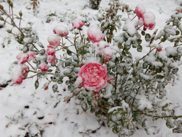 Когда и как правильно пересадить розы на другое место осенью