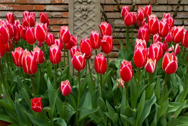Когда и как сажать тюльпаны осенью в Подмосковье