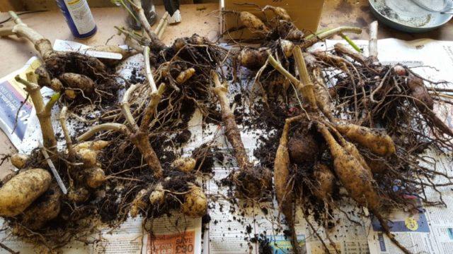 Когда выкапывать и как хранить георгины после выкопки зимой