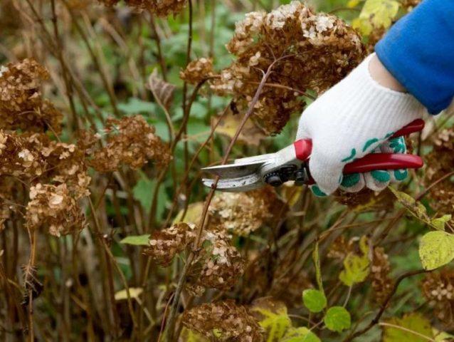 Как правильно обрезать метельчатую гортензию осенью