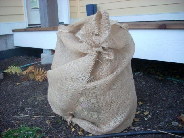 Как правильно укрыть гортензию на зиму