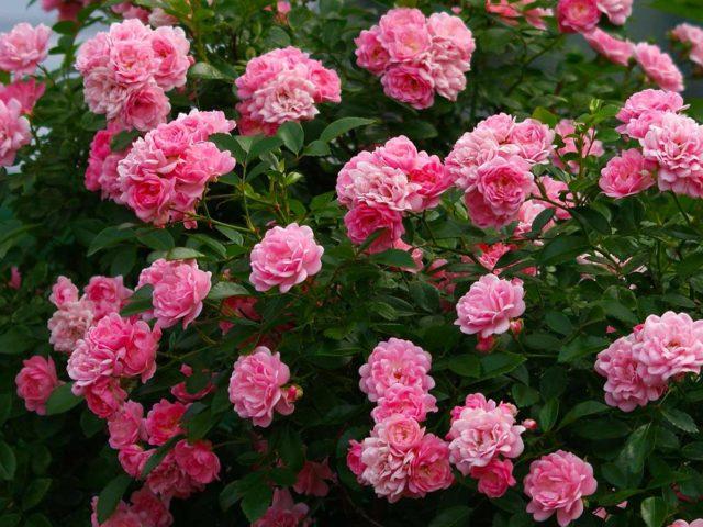 Подкормка роз осенью: в сентябре, перед зимовкой