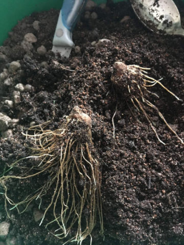 Когда выкапывать анемоны и как хранить луковицы