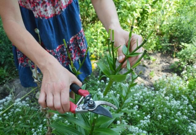 Обрезка лилий осенью после цветения для начинающих: сроки, видео