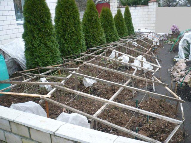 Как подготовить розы к зиме на Урале