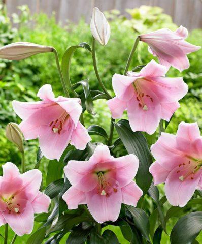 Надо ли и когда выкапывать лилии на зиму
