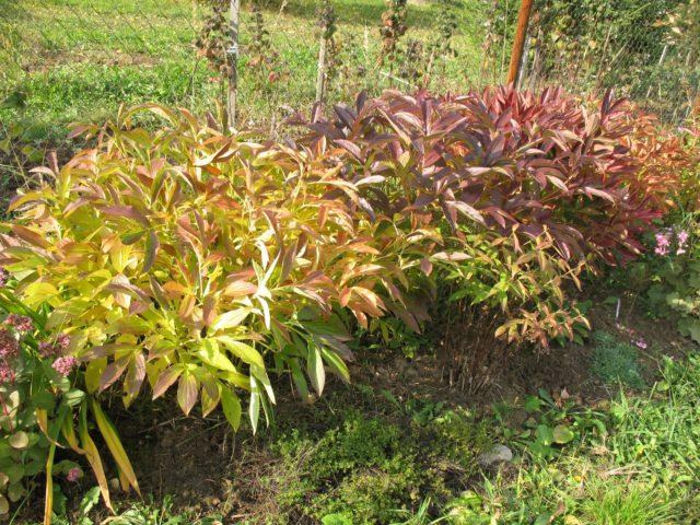 Уход за древовидным пионом осенью: как укрыть, подготовить к зиме