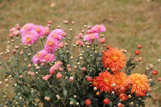 Обрезка хризантем на зиму: фото, видео для начинающих