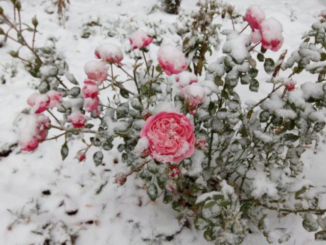 Как укрыть чайно-гибридные розы на зиму