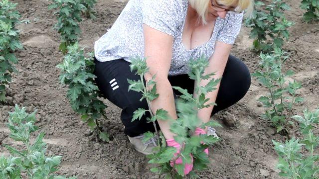 Когда и как правильно сажать хризантемы в открытый грунт осенью