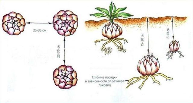 Когда и как пересаживать лилии на новое место осенью: в Подмосковье, в Сибири, на Урале