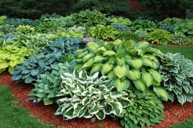 Оформление сада хостами: фото цветов на клумбе, лучшие соседи
