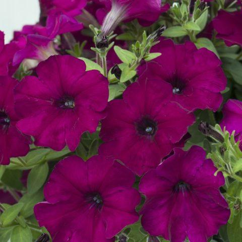 Петуния многоцветковая Mambo (Мамбо) F1: описание сорта, отзывы, фото