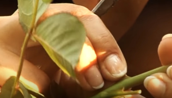 Как привить розу на шиповник: весной, осенью, пошаговая инструкция