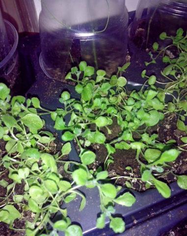 Аубреция (обриета): выращивание из семян, когда сажать на рассаду