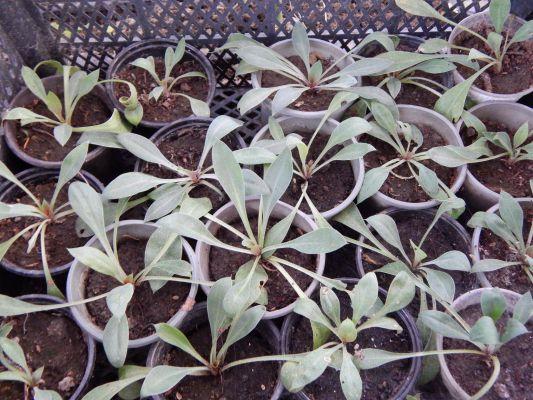 Кермек (статица): когда сажать семена, выращивание рассады, фото