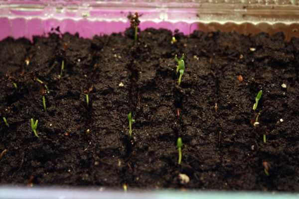 Вербена: посадка и уход за рассадой в домашних условиях, фото