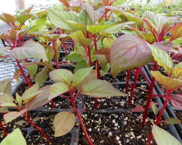 Целозия гребенчатая: выращивание из семян в домашних условиях, фото