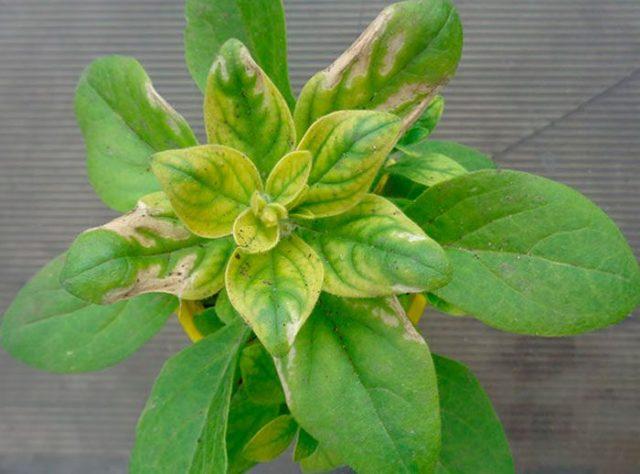 Хлороз петунии: причины и лечение, фото