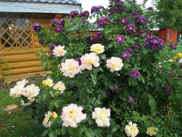 Роза Gloria Dei Climbing (Глория Дей Клайминг): описание и фото, отзывы
