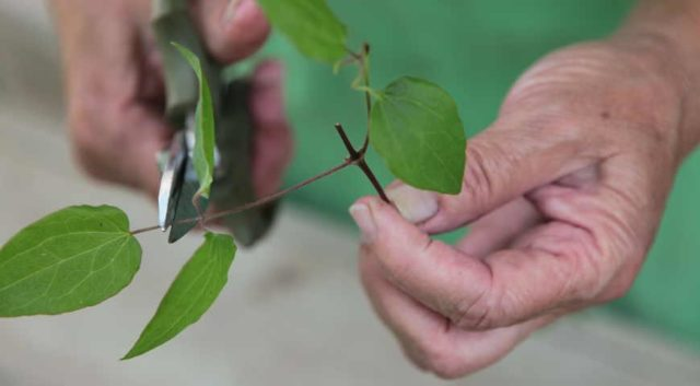 Самые простые способы размножения клематиса черенками летом