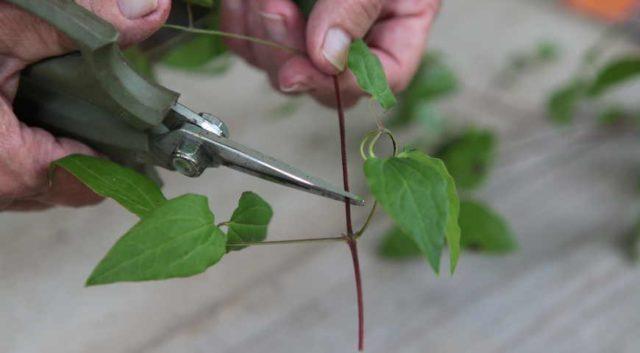 Размножение клематиса черенками весной в домашних условиях