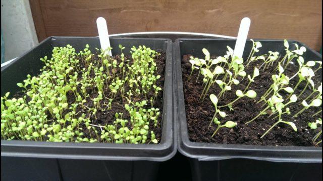 Немезия: сроки посева, выращивание рассады из семян, посадка и уход