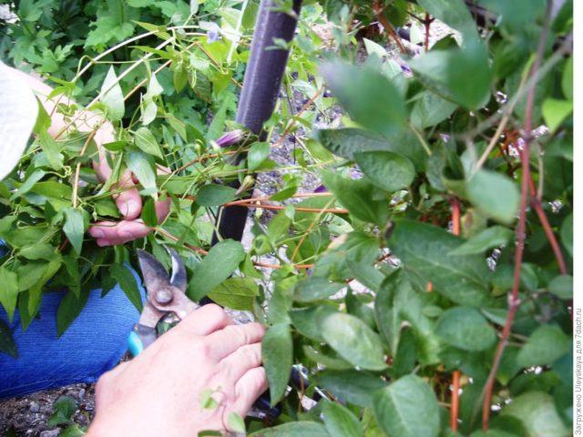 Почему клематис не цветет, а дает только листву