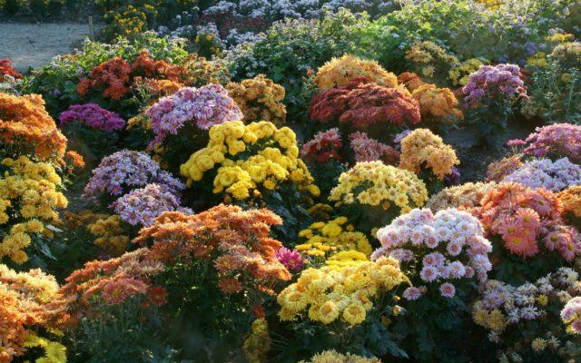 Укрывают ли хризантемы на зиму: в Подмосковье, Сибири и других регионах