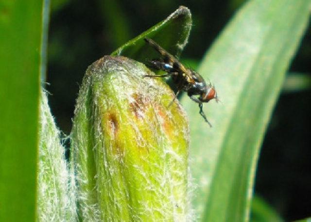 Чем обработать лилию от вредителей