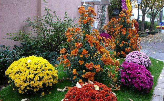 Когда и как сажать хризантемы в открытый грунт весной