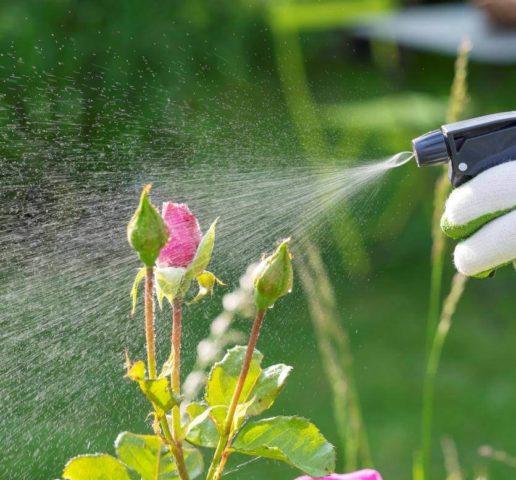 Уход за плетистой (вьющейся) розой осенью и подготовка к зиме